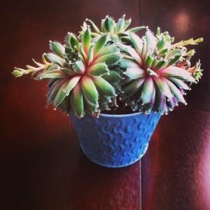 our succulent